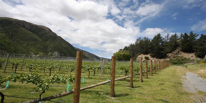 Vineyard_Gibbston Valley